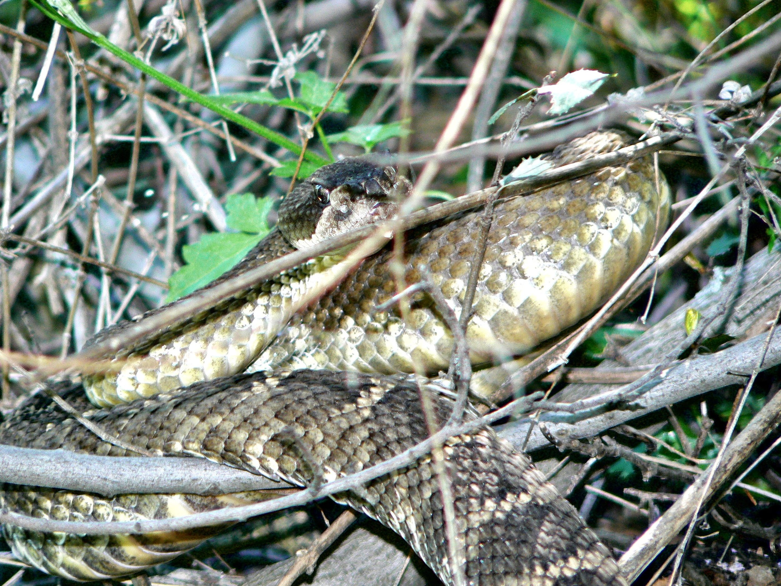 A rattler in the bramble flashes its patented glare in Mt. Diablo's Back Creek Canyon.