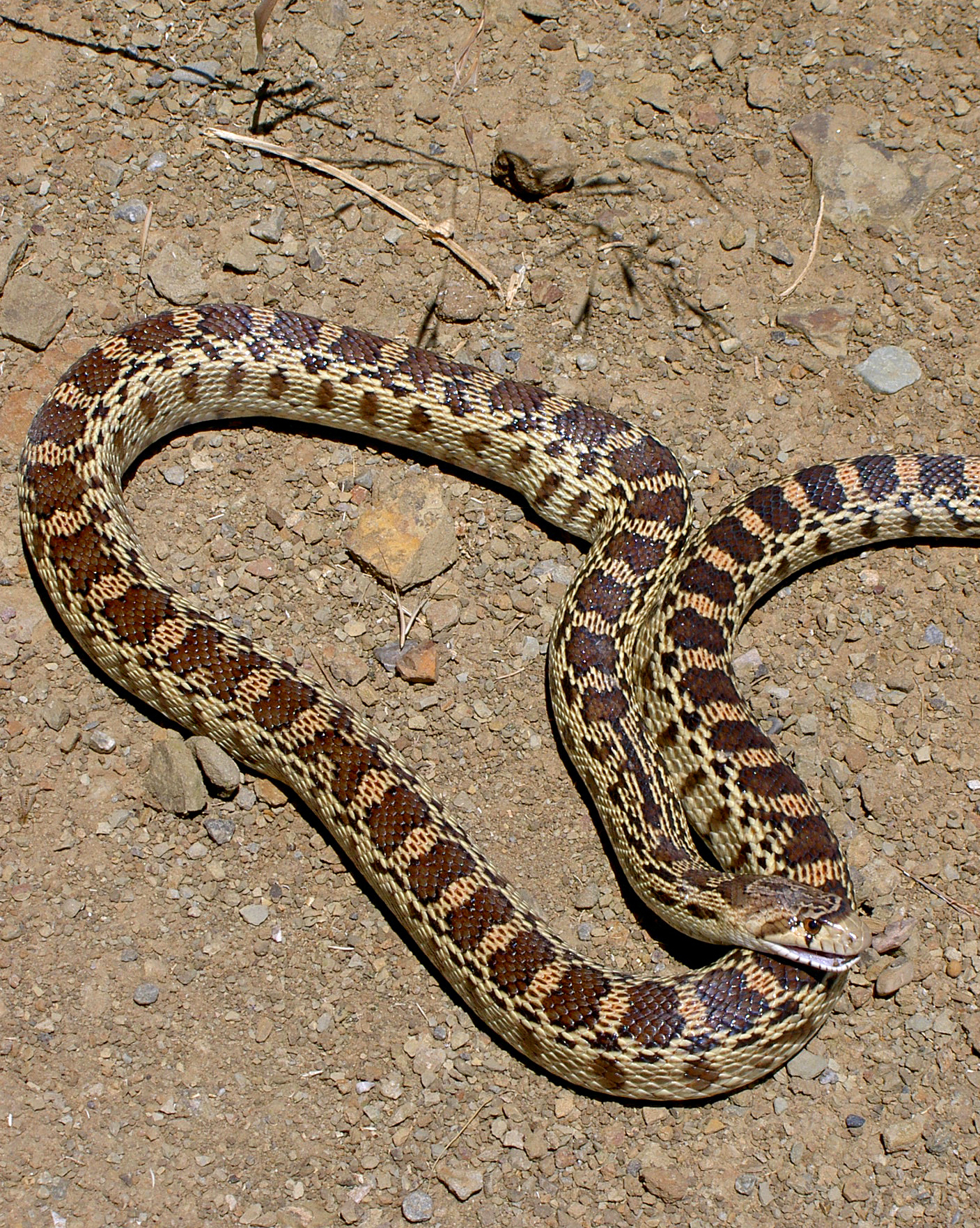 A non-venomous gopher snake hisses a warning at Los Vaqueros Watershed.