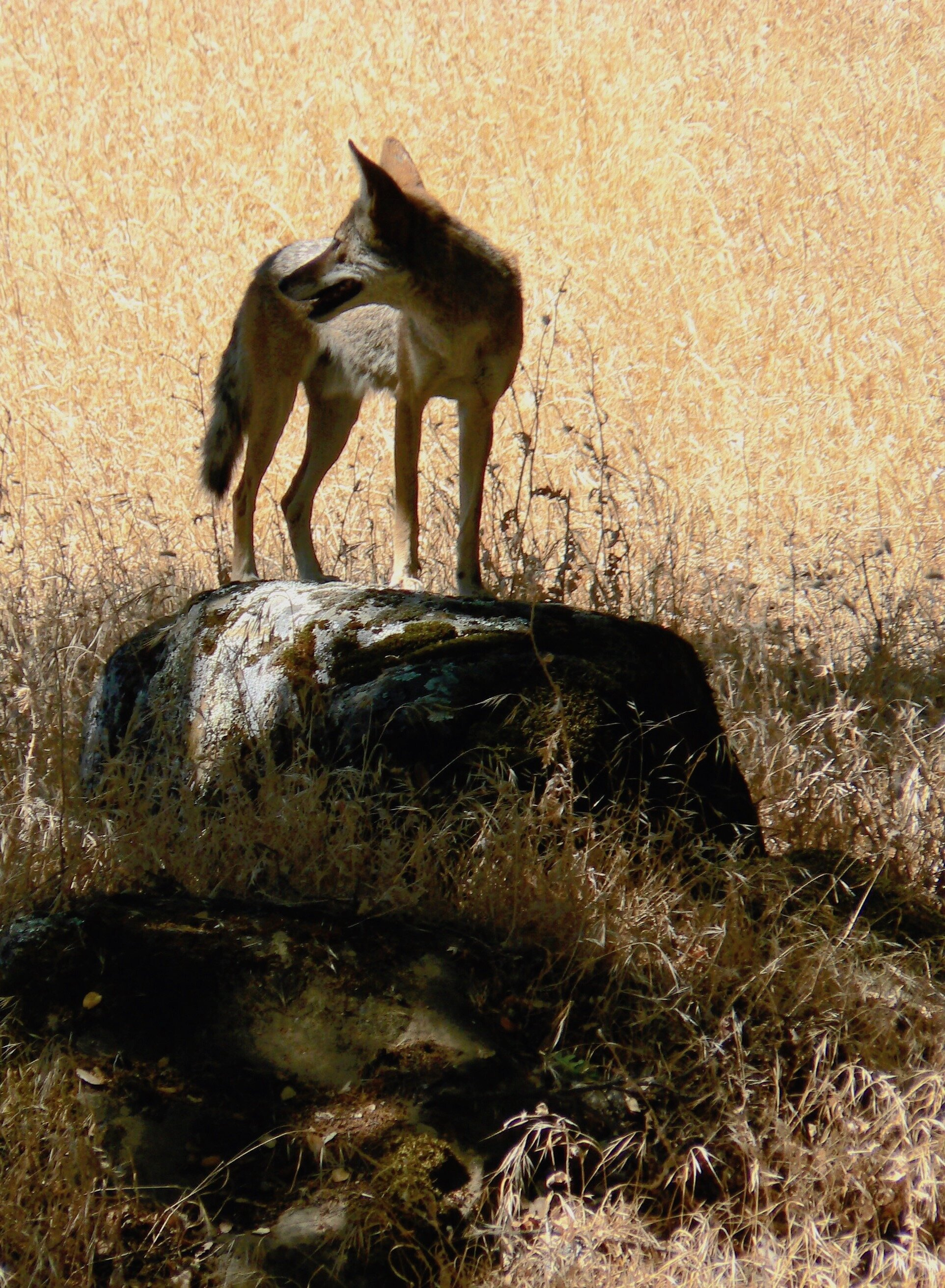 Coyote in Murphy Meadow, Round Valley Regional Preserve.