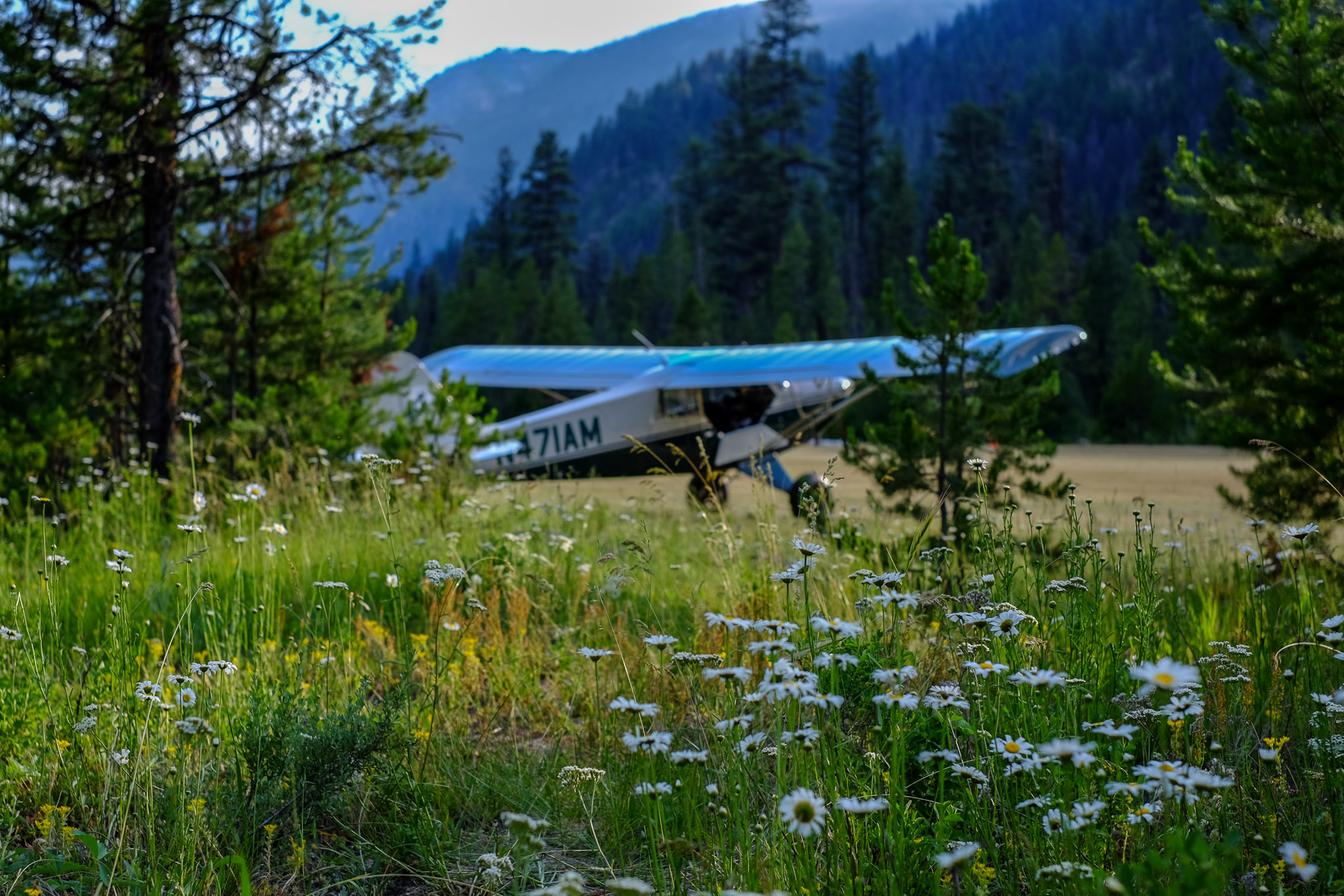 Alex's 2004 Husky A1-B in the background, upstaged by wild daises just off the runway at Johnson Creek, Idaho.