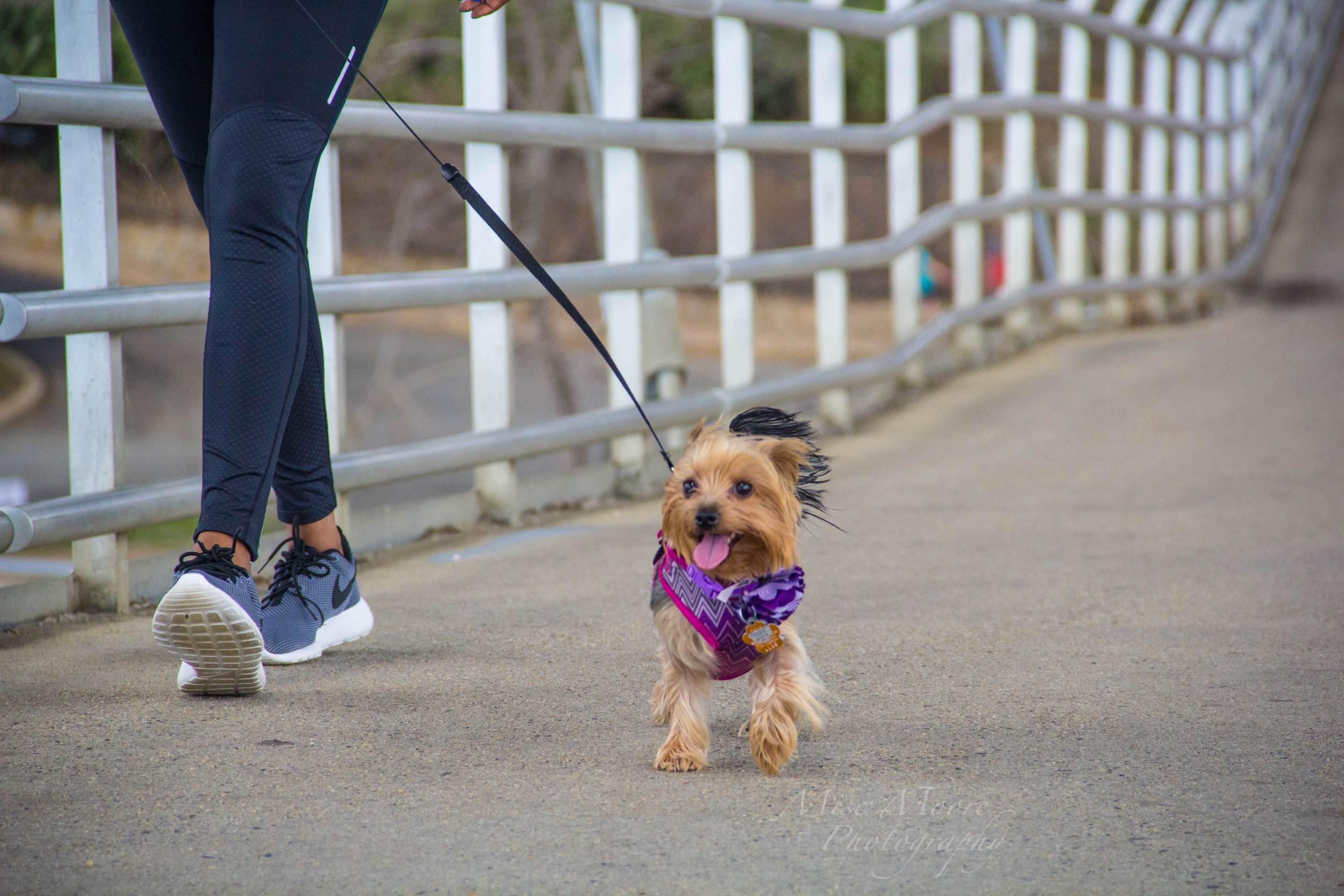 precious-yorkie-on-bridge.jpg