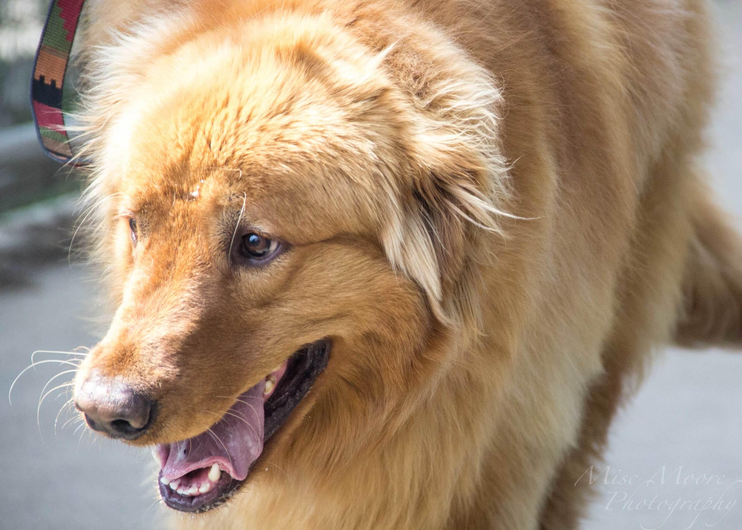 kodiak-the-giant-golden.jpg