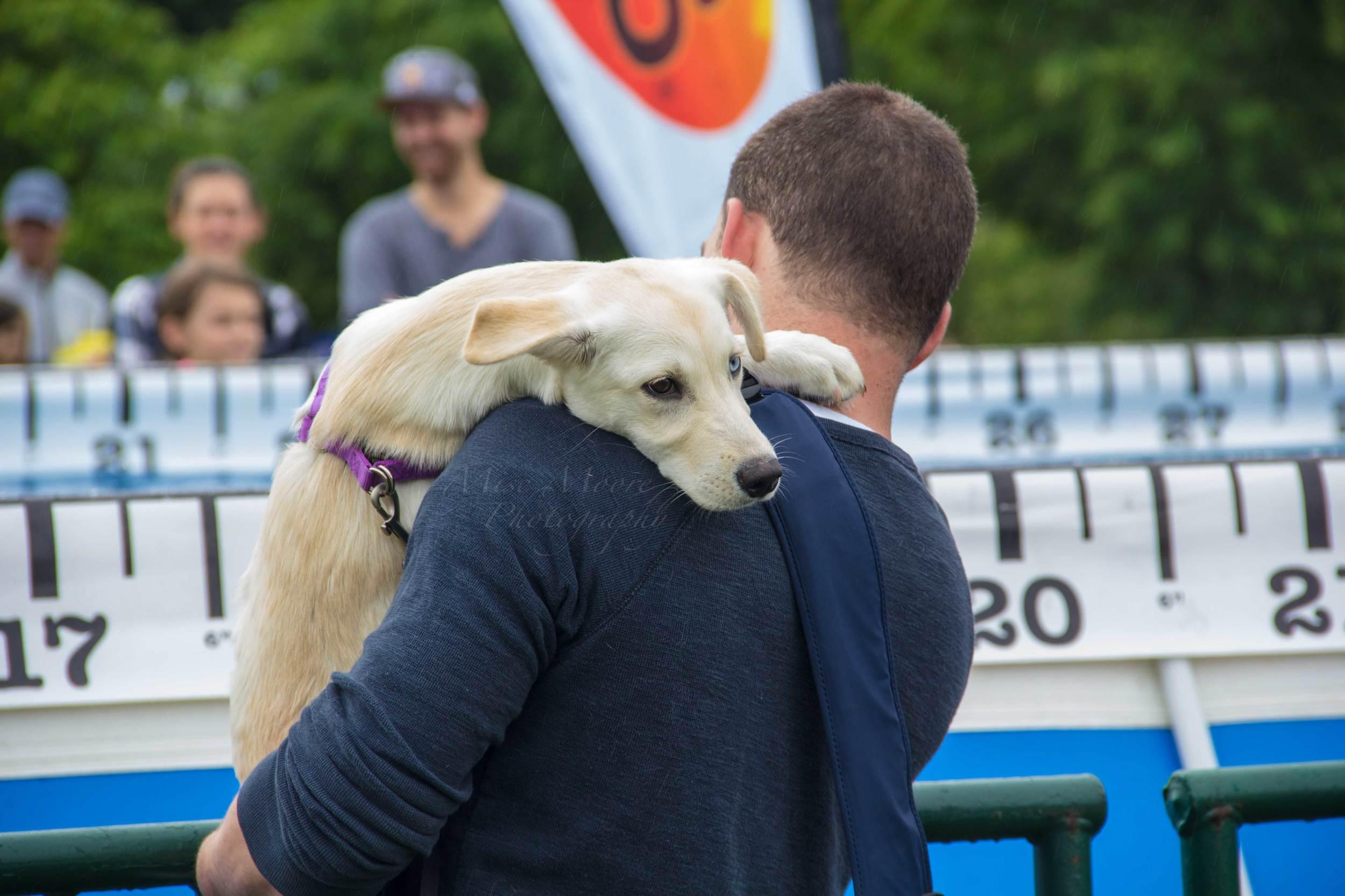 lab-husky-puppy.jpg