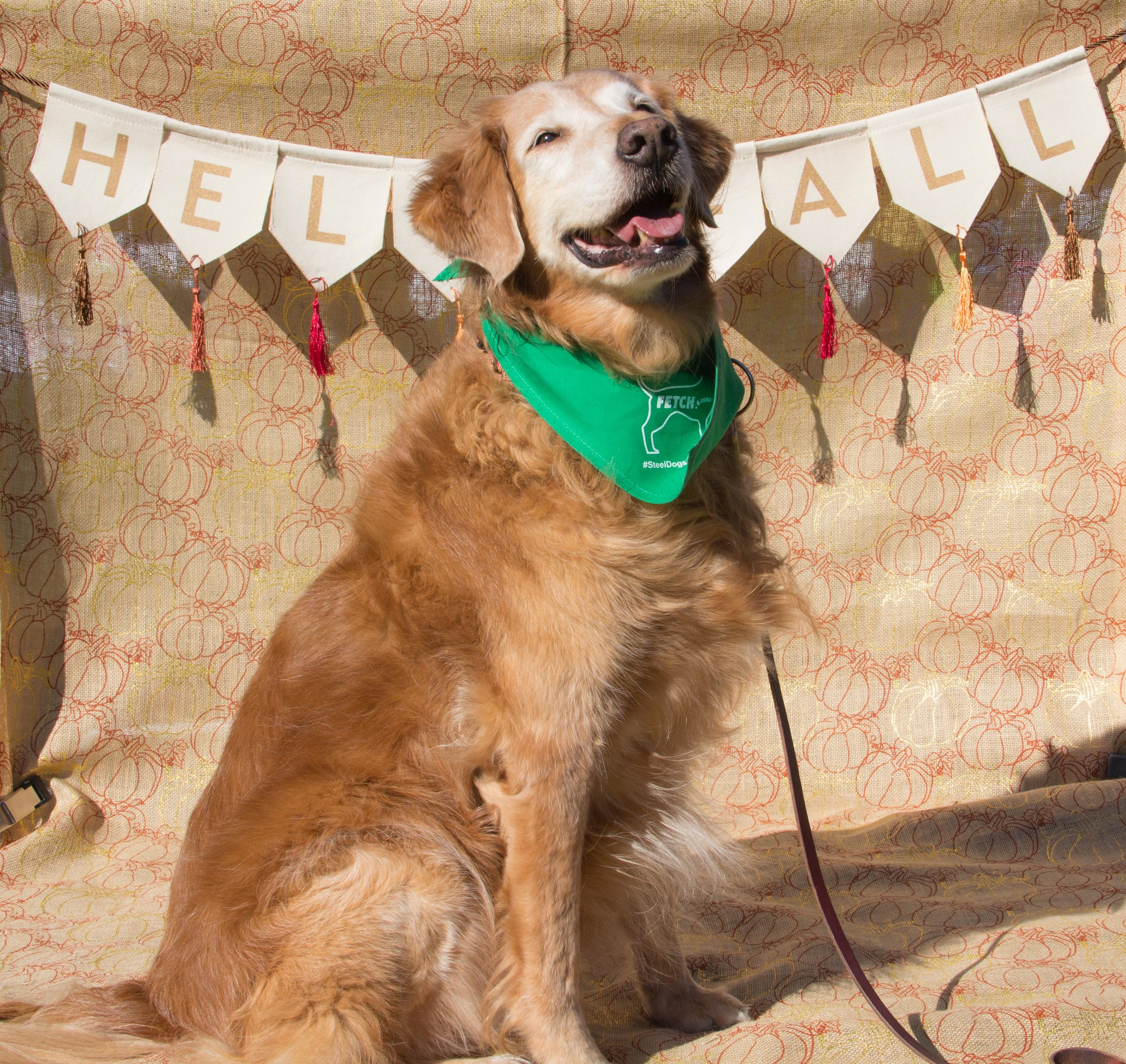 Gorgeous Old Golden Retriever smiling for the camera