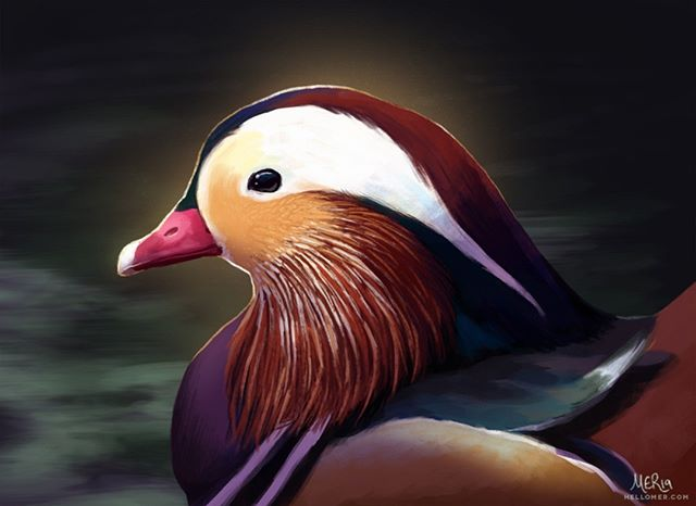 Painted this Mandarin Duck for this month's #BirdWhisperer Project before I had my surgery. I tried a more painterly style this time, and really really enjoyed it. So I hope to do more like this from now on. :) -- #BirdWhispererProject #MandarinDuck #Illustration #Painting #Digital #Art #Birds