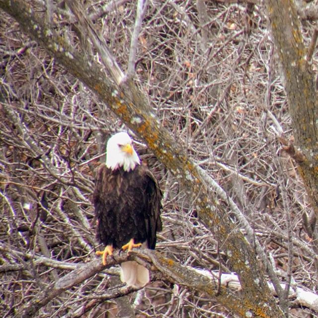 ✨🦅 Eagle Days! 🦅✨ Every winter, bald eagles flock to MO to feed. So I took a trip up to Smithville Lake to do some watching! (Sorry folks, this is the best I could do with my phone and a scope XD) -- #eagledays #birdwatching #eagles #birds