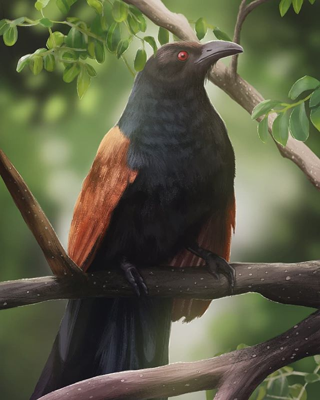 Here's the painting I did for March's Bird Whisperer Project - The Greater Coucal! These southeast Asian birds are from the same order as cuckoos, but are non-parasitic. Their resonant calls are associated with spirituality and omens. - #SciArt #BirdArt #BirdWhisperer #Illustration #ArtistsOfInstagram #Art #Ornithology #Painting #Digital #Birds #Coucal #Spirituality