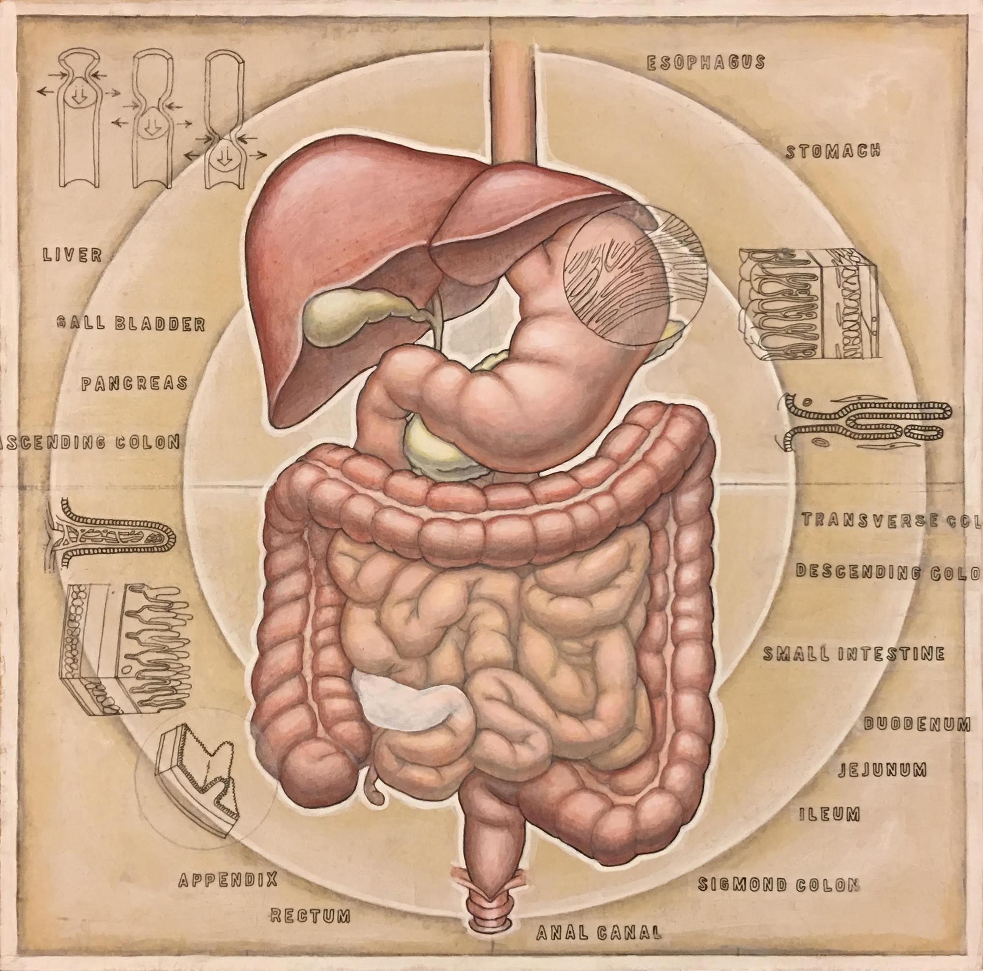 humandigestive-5.jpg