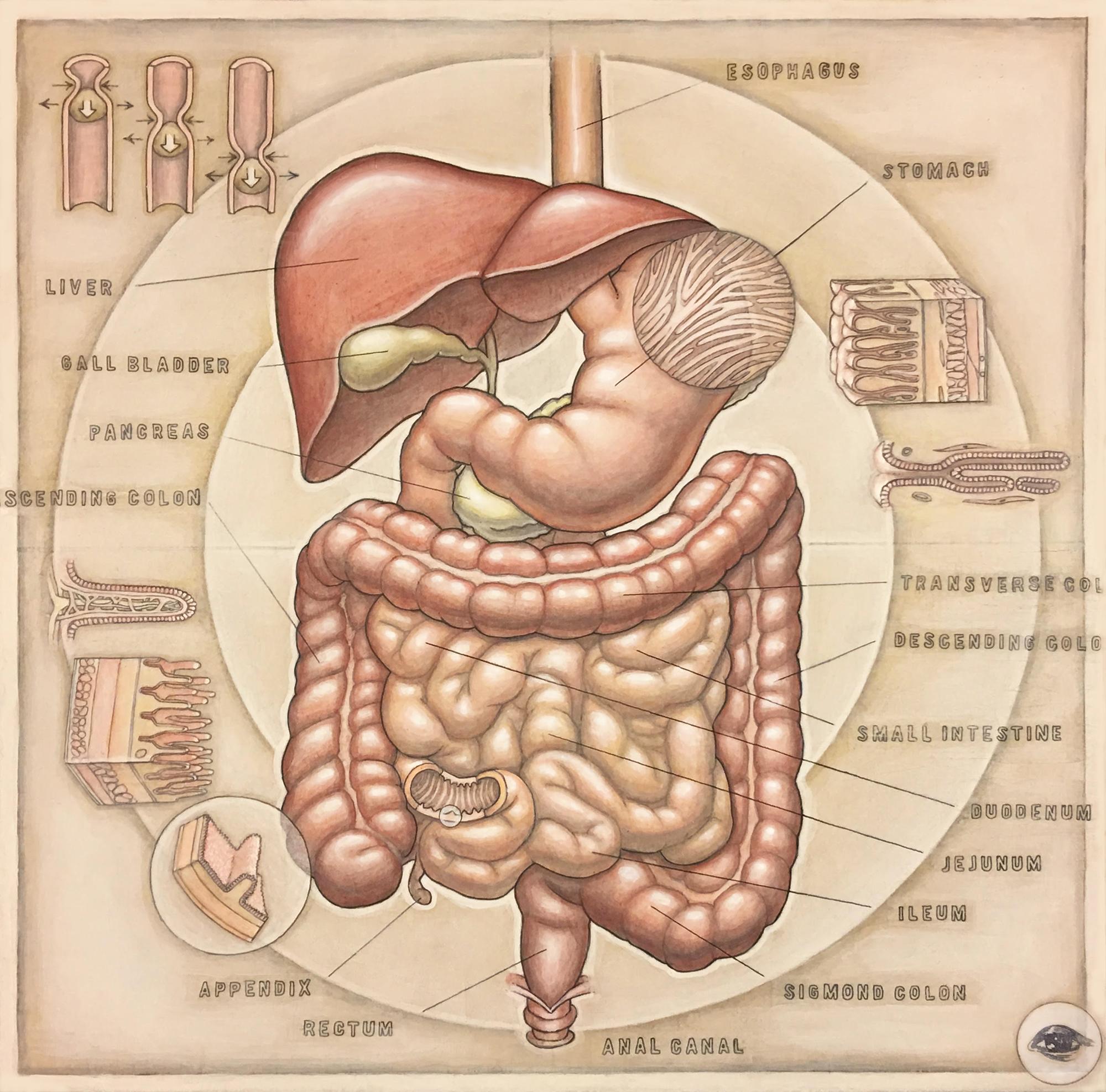 HumanDigestive(v.1.1).jpg