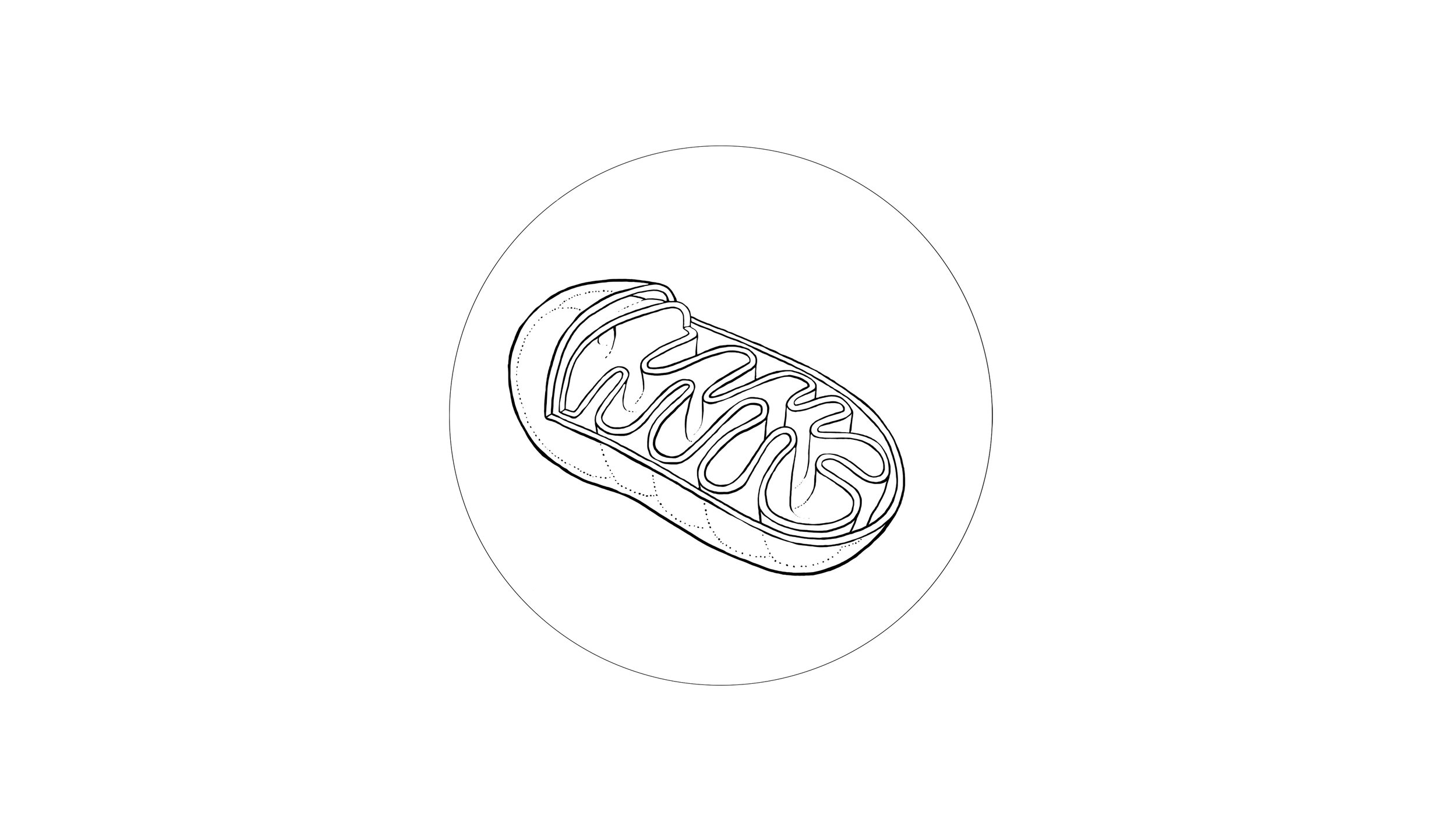 organelle ( mitochondria )