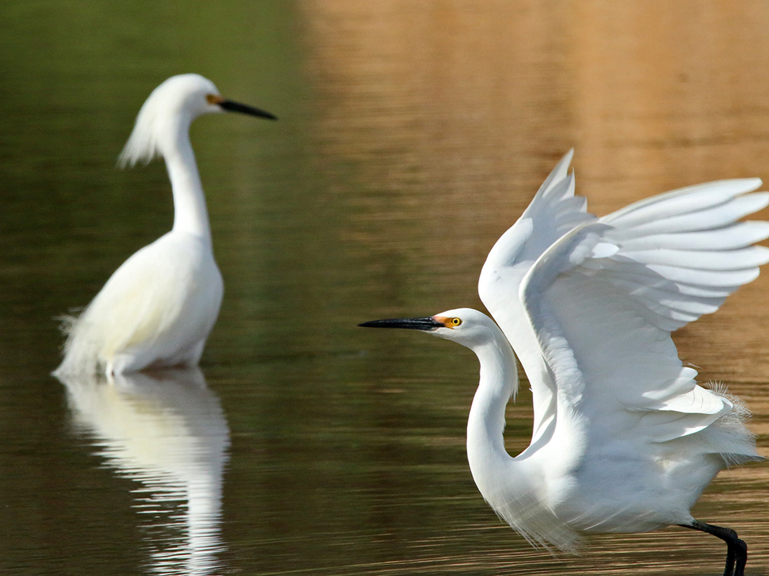 Snowy Egret Excitement—Natural Bridges State Park, CA
