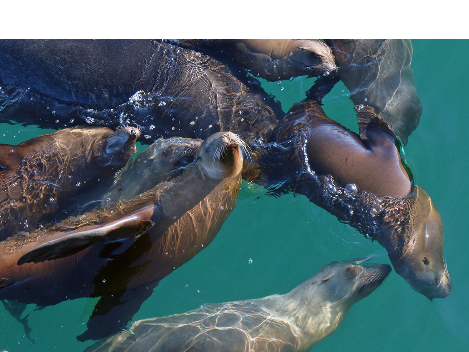 A Joyful Raft of Sea Lions—Monterey Bay, CA