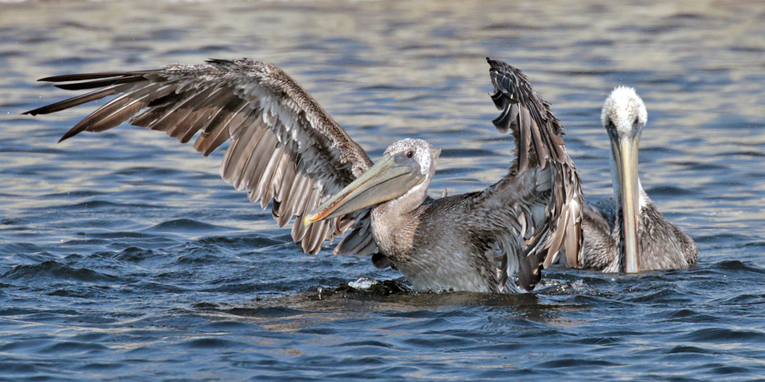 Young Brown Pelicans Express Themselves—Scotts Creek Beach, CA