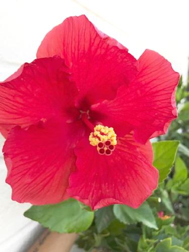Hibiscus 1.jpeg