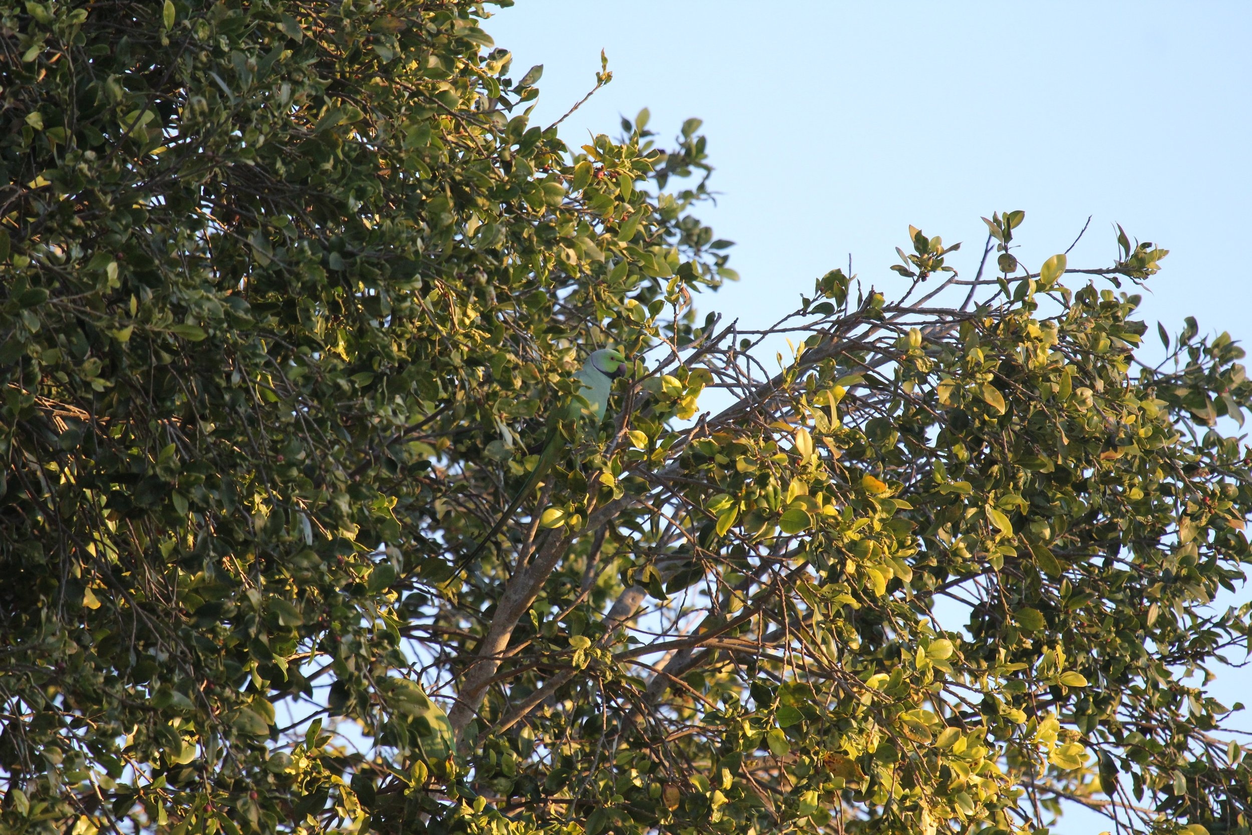 A Rose-ringed Parakeet searching for food in an urban street tree. Playa del Rey, California. One aim of our urban ecology research is to determine tree-species preferences by foraging birds in the urban forest.