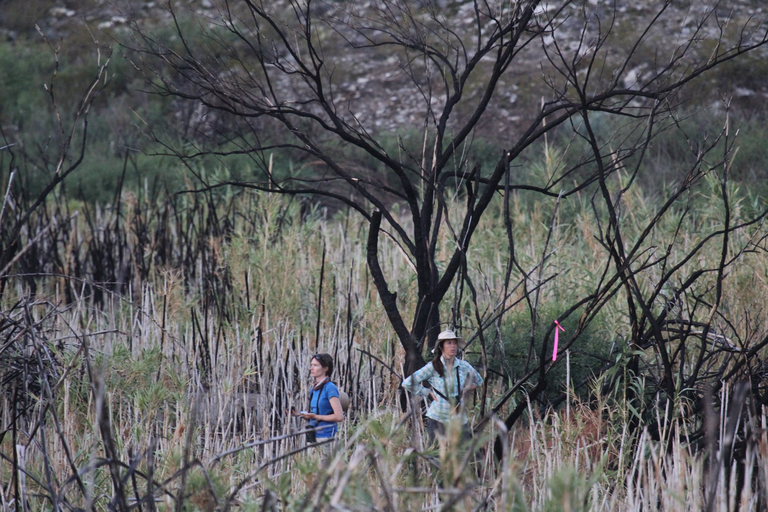 Tackling a bird survey in a field of Giant Cane ( Arundo donax ) that was recently burned (Big Bend National Park, Texas). A major component of our work in Big Bend is to quantify the response of wildlife to the removal of  Arundo donax .