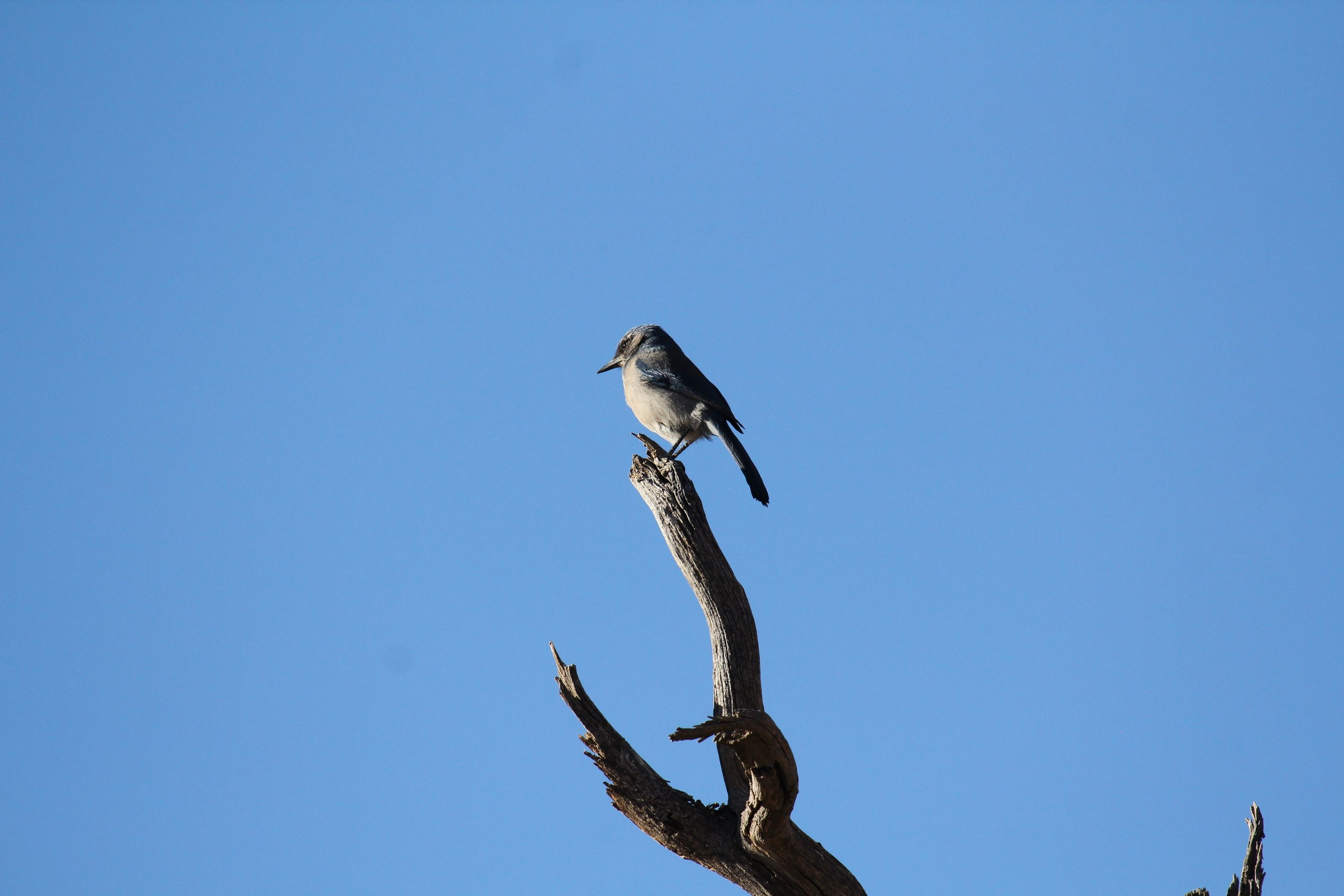 A California Scrub Jay ( Aphelocoma californica ) catching some rays in the Santa Monica Mountains.