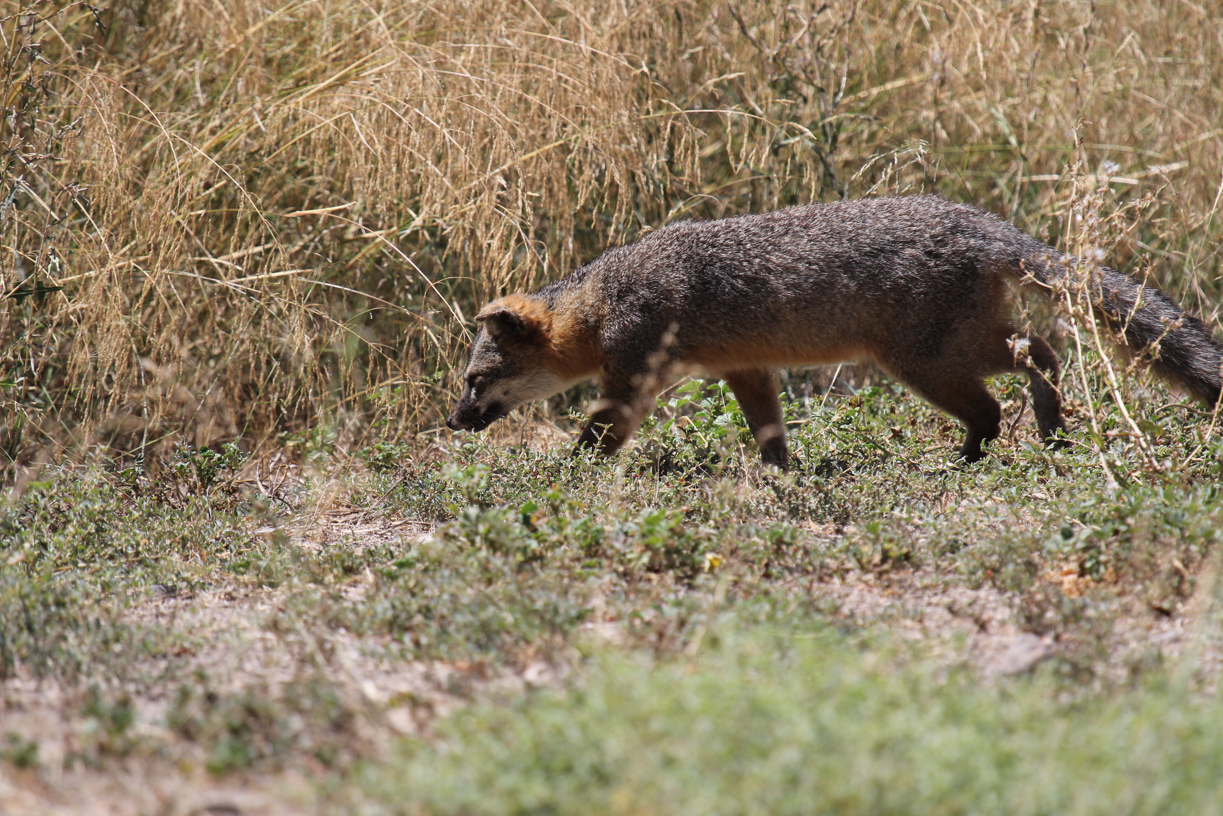 An Island Fox  ( Urocyon littoralis )  roaming Santa Cruz Island. Island Fox are an example of the unique and exceptional biodiversity of the Channel Islands. Peter's project will add information to aid in the conservation of the islands (and mainland coastal zones).
