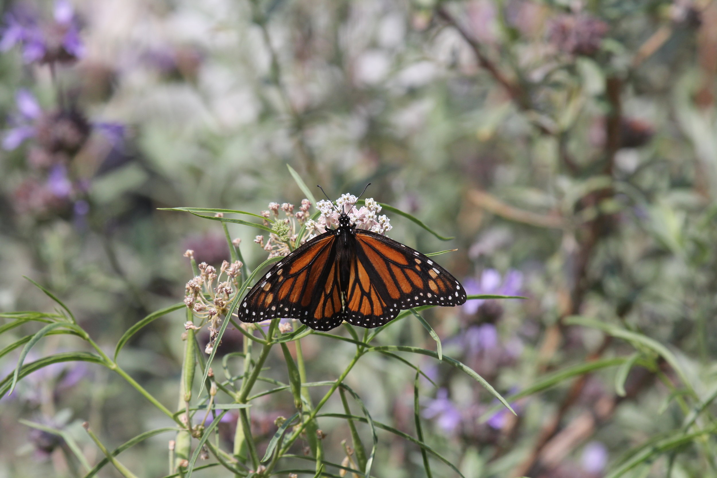 A Monarch Butterfly ( Danaus plexippus ) visiting a Narrow Leaf Milkweed ( Asclepias fascicularis ) in a residential yard in Los Angeles. Noriko's project will shed light on the value of residential yards for urban biodiversity.