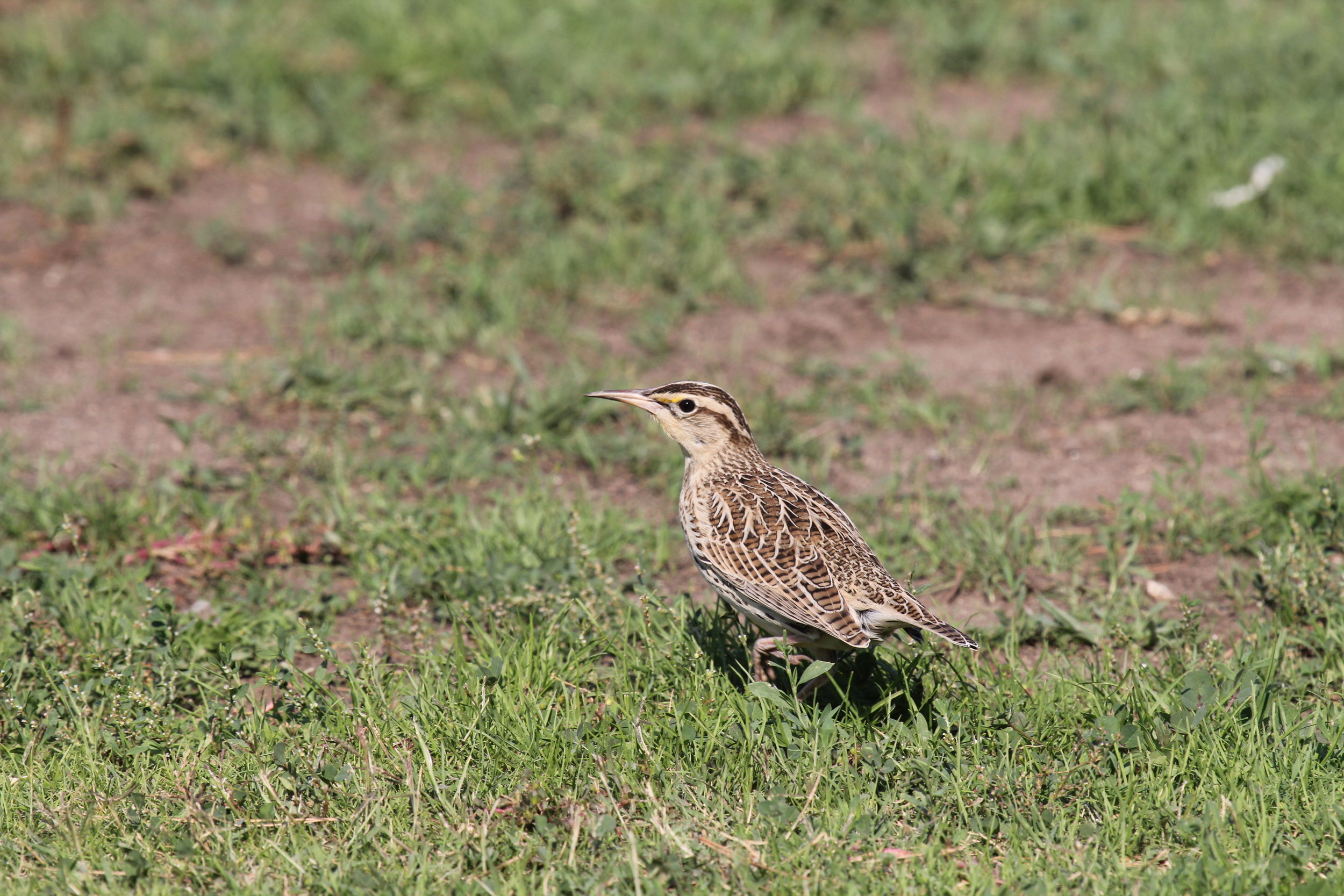 A wintering Western Meadowlark (Sturnella neglecta) in an urban park in LA. Parks are designed as places for recreation and community gatherings. Parks also serve a vital role in providing habitat for wildlife in the urban core. The 'parks project' (led by graduate student, Amy Vasquez) is working to understand what features of parks attract wildlife - and in turn, how parks can be designed to benefit both biodiversity and people.