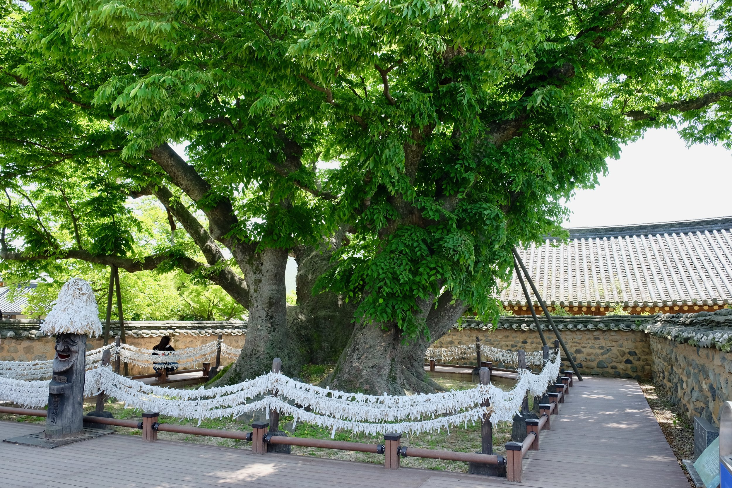 """Situated at the very centre of Hahoe Village, this 600-year-old zelkova tree is called Samsindang, which means """"shrine for three gods"""". It is worshipped as a village spirit. It is believed throughout the country that Samsin exist in every home and are thus enshrined in the matron's room. But in Hahoe Village, it's this tree that hosts the Samsin. On the 15th day of every January by the lunar calendar, the people of the village perform a ritual to pray for peace in the village."""