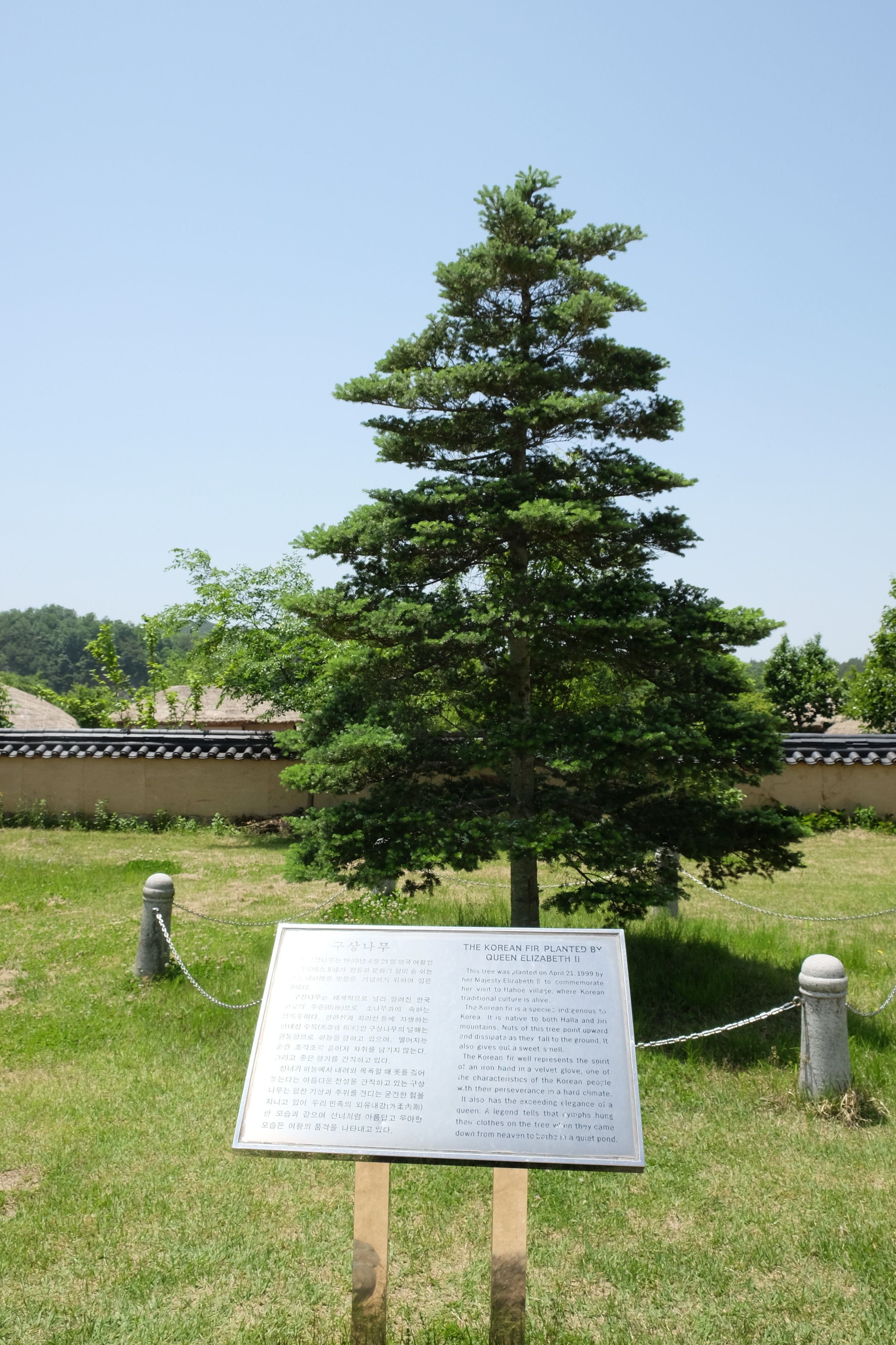This tree was planted on April 21, 1999 by Queen Elizabeth II to commemorate her visit to Hahoe Village. The Korean fir tree is a species indigenous to Korea. It is native to both Halla and Jiri mountains. Nuts of this tree point upward and dissipate as they fall to the ground.