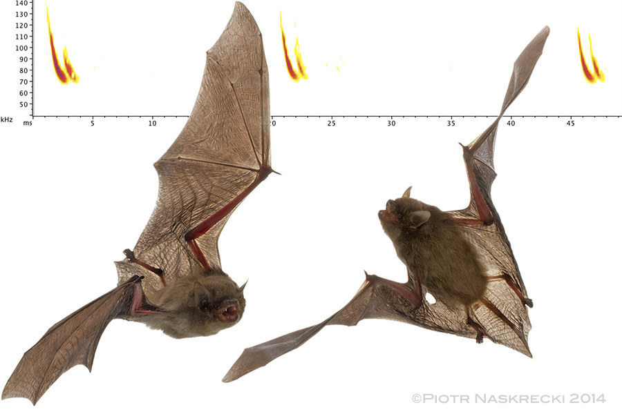 Banana bats ( Neoromicia nana ) are tiny, insectivorous bats. Their name comes from the preferred roosting habitat of this species – furled leaves of banana plants.