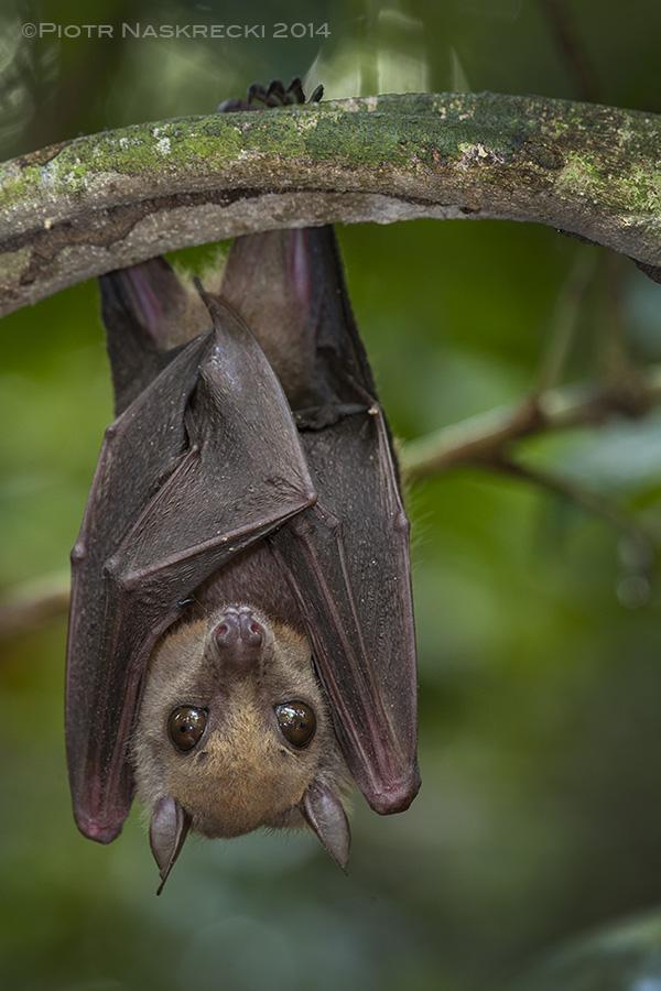 Little collared fruit bat ( Myonycteris torquata ) from Ghana, a species implicated in harboring the Ebola virus.
