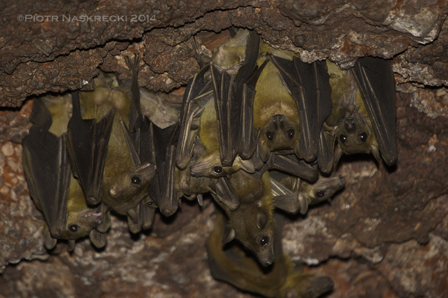 A colony of Egyptian fruit bats ( Rousettus aegyptiacus ) from Nzerekore, Guinea, where many people have recently died of Ebola. This species has also been suspected of being the virus' carrier but so far no live Ebola virus has been isolated from any species of African bats.