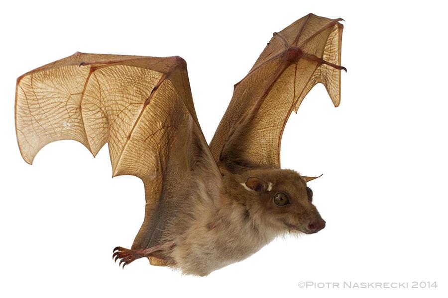 Peters's epauletted fruit bat ( Epomophorus crypturus ) from Gorongosa National Park.