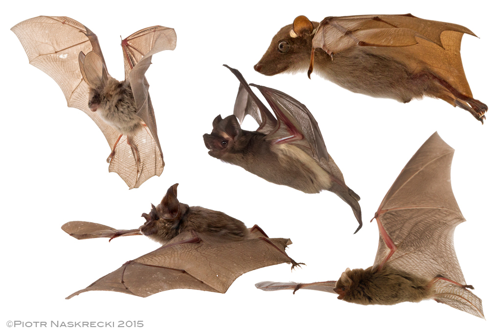 A few of the bat species we have in Gorongosa National Park. Each of the bats above is from a different family. Photos by Piotr Naskrecki.