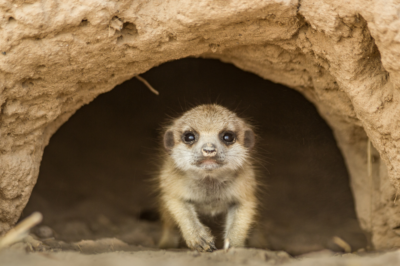 meerkats-1902.jpg