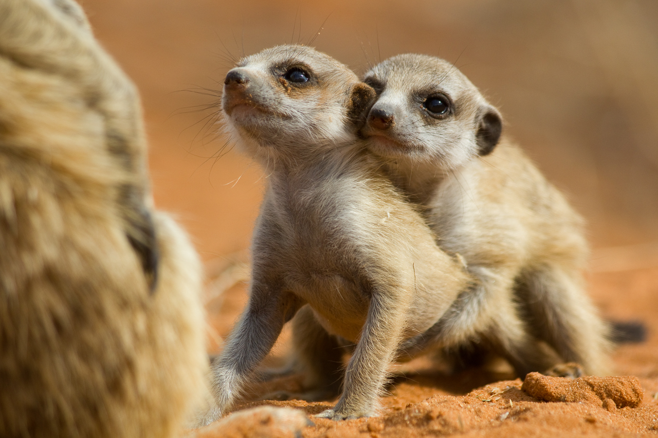 meerkats-2763.jpg