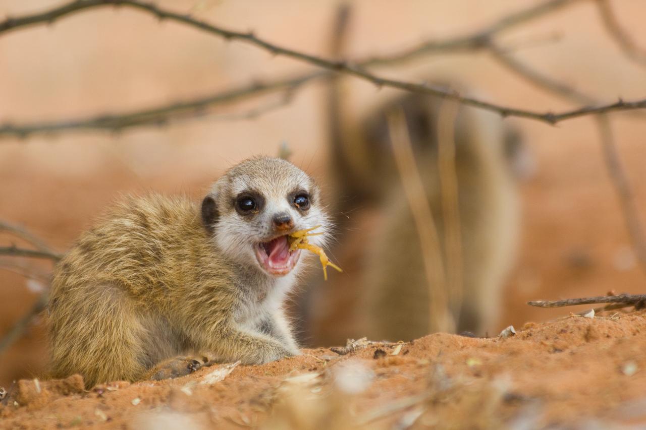 meerkats-2858.jpg