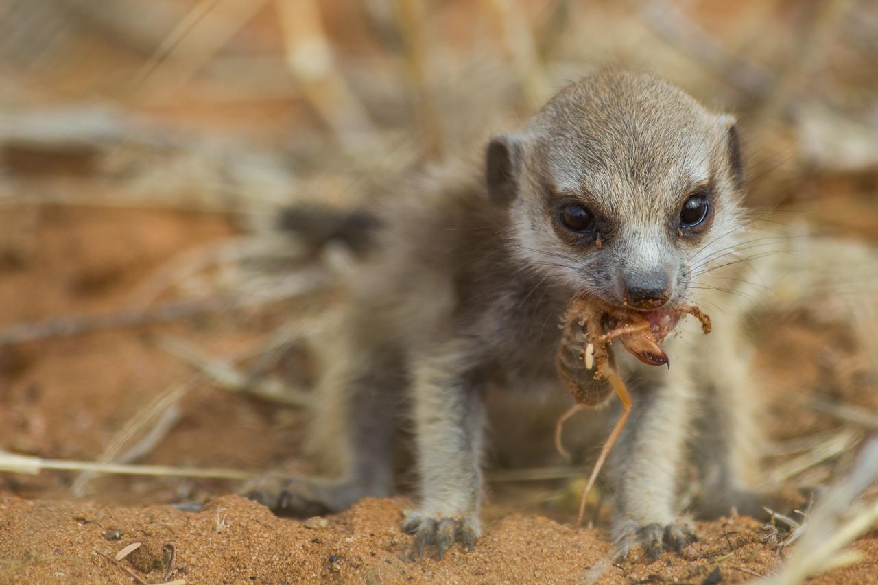 meerkats-2915.jpg