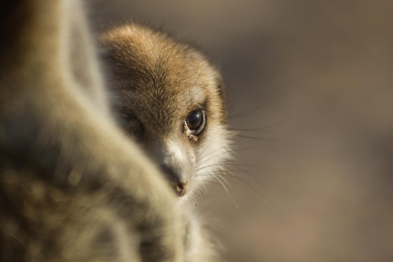 meerkats-3045.jpg