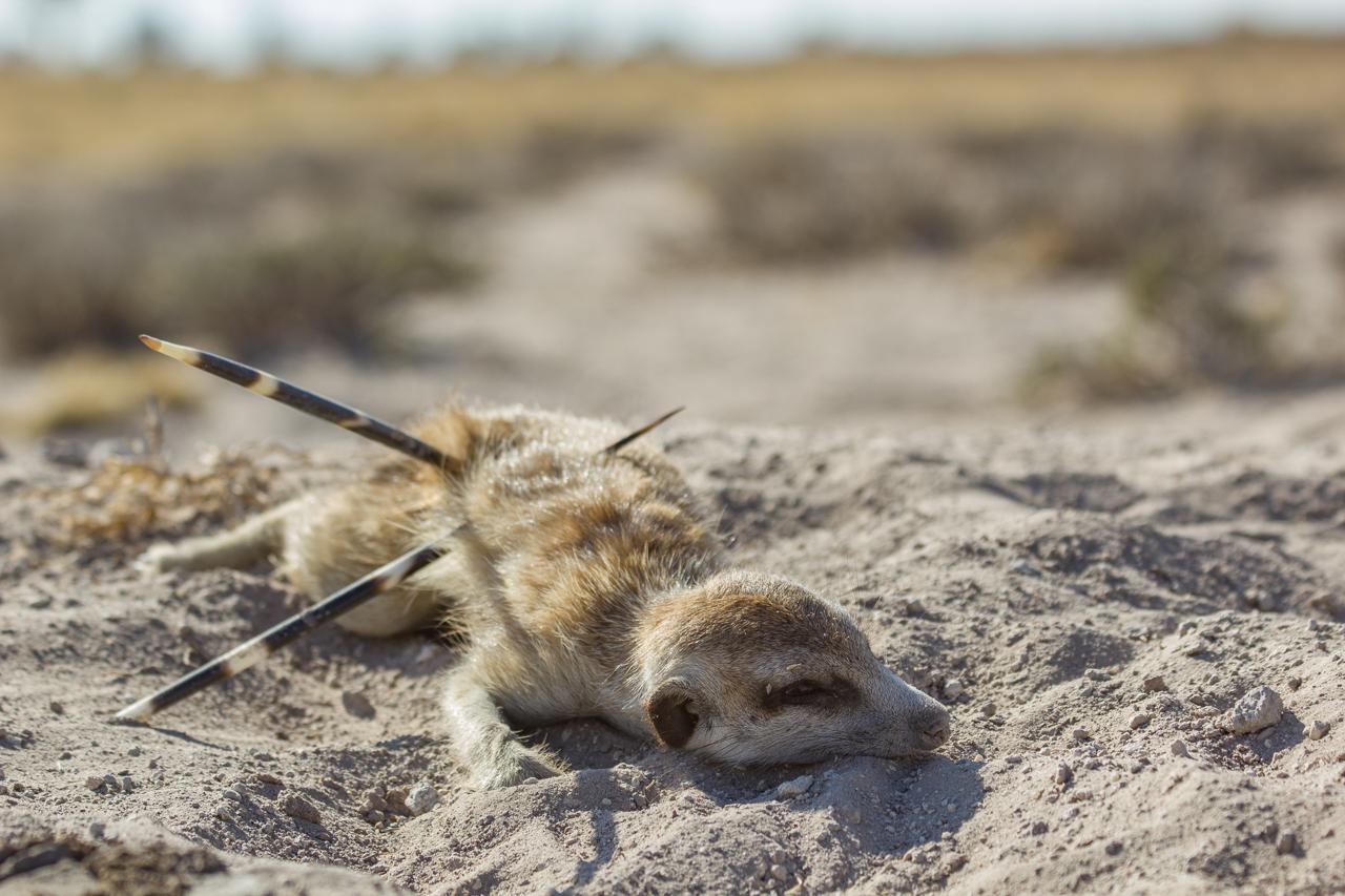 meerkats-3240.jpg