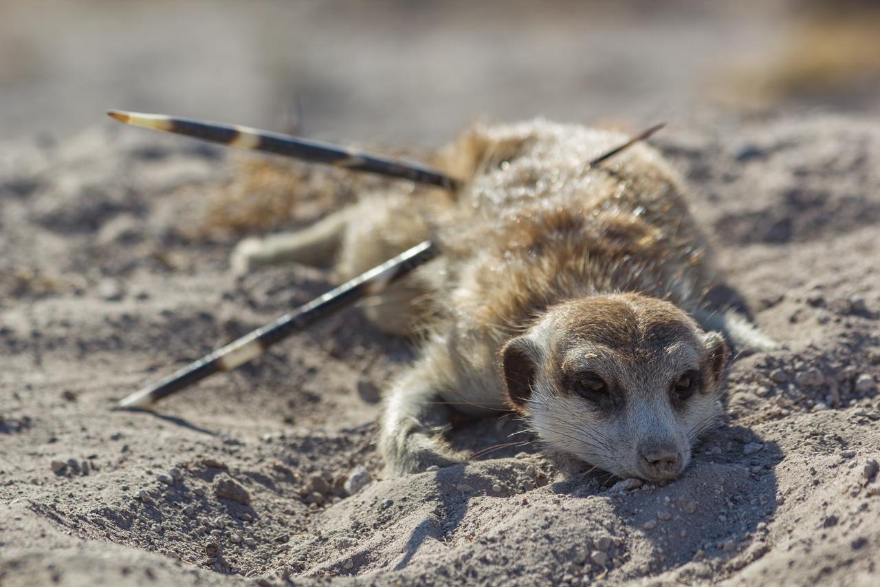 meerkats-3251.jpg