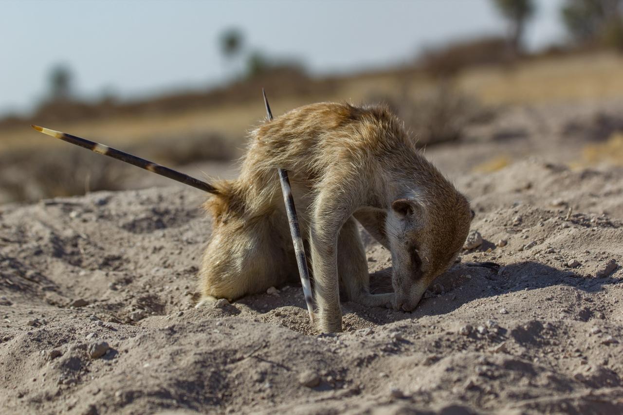 meerkats-3285.jpg