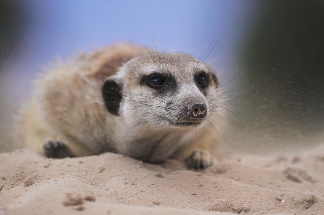meerkats-4083.jpg
