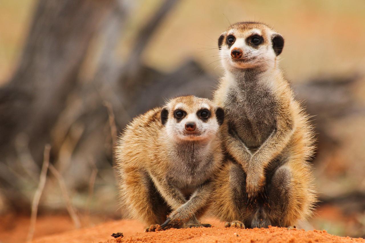 meerkats-4249.jpg