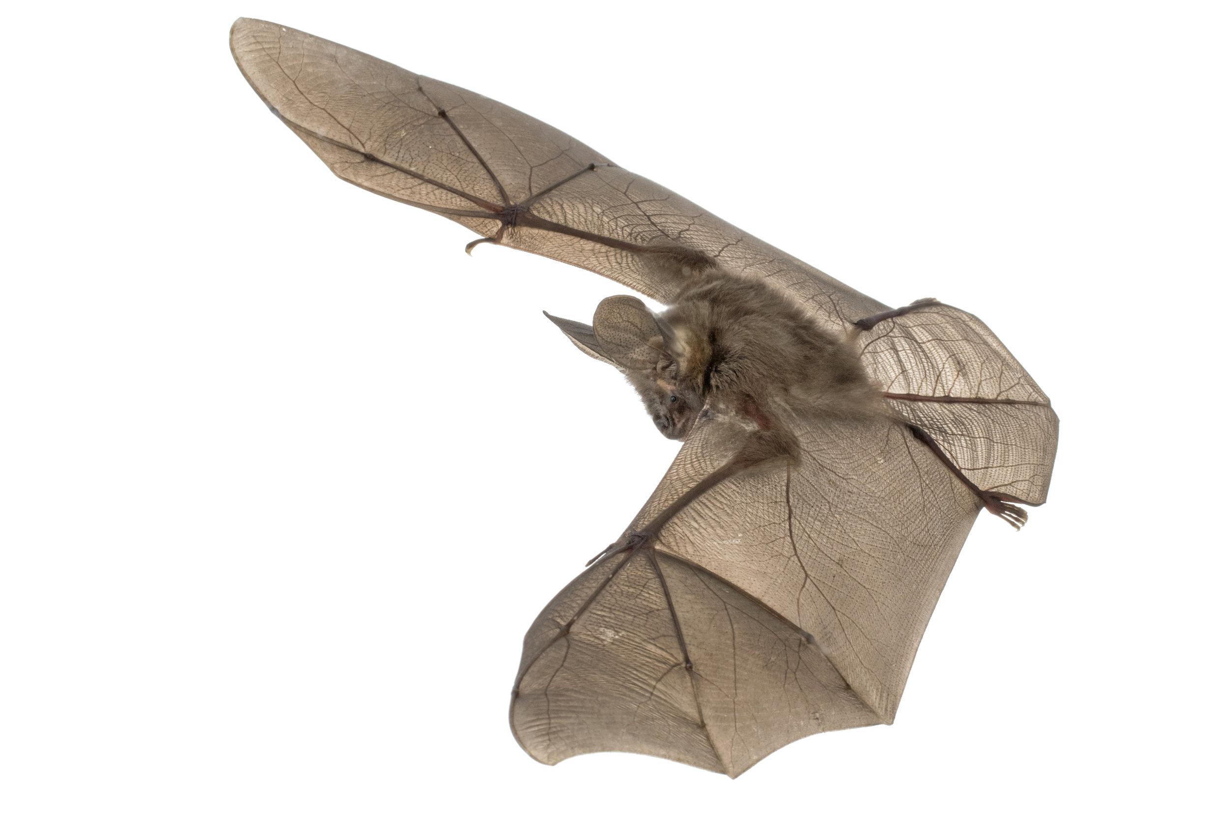 Large-eared whispering bat (Nycteris macrotis).