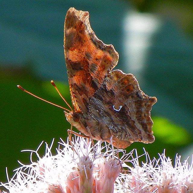 Eastern Comma (Polygonia comma) at Tifft (Mid August, 2011) #EasternComma #Polygonia #Polygoniacomma #Nymphalidae Nymphalinae #BrushFootedButterflies #BrushFootedButterfly #BrushFooted #FourFootedButterfly #Nymphalid #Lepidoptera #Entomology #Insect #InstaInsects #InsectMacro #Butterfly #ButterFlieswings #NaturePhotography #Nature #Nature_Obsession #NaturePorn #Tifft #TifftNaturePreserve #FieldGuide #FieldGuides #TheFieldGuides