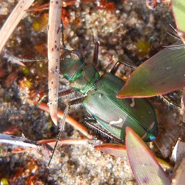 Green-margined/Purple Tiger Beetle (Cicindela purpurea) at Bruce Peninsula (Late May, 2015) #GreenMarginedTigerBeetle #PurpleTigerBeetle #Cicindela #TigerBeetle #Cicindelapurpurea #Coleoptera #arthropoda #arthropod #Adephaga #GroundBeetle #GroundBeetles #WaterBeetle #WaterBeetles #Carabidae #CarabidaeFamily #Cicindelinae #Cicindelini #FlashyTigerBeetles #beetlelife #beetlesofinstagram #entomology #naturephotography #natureporn #Nature_Obsession #ParksCanada #Ontario #BrucePeninsula #FieldGuide #FieldGuides #TheFieldGuides