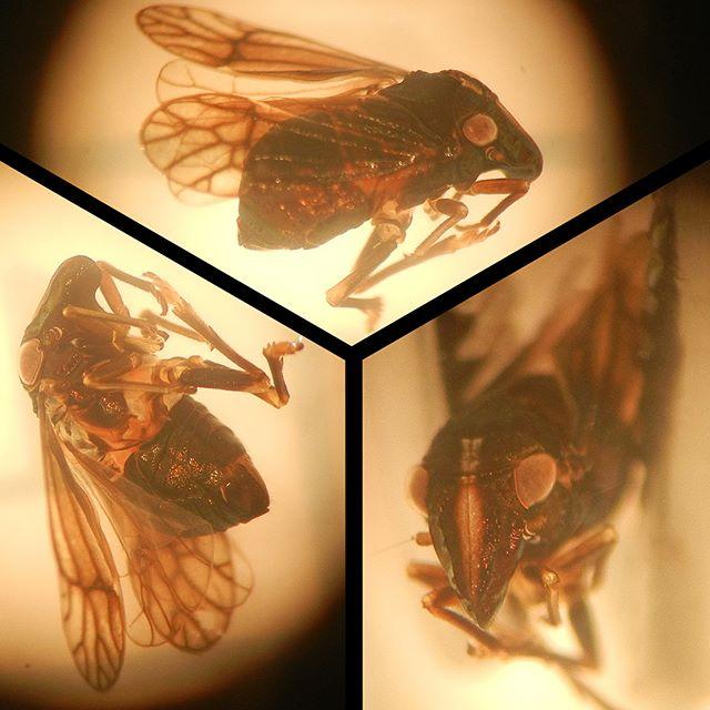 Piglet Bug (Bruchomorpha sp.) in Illinois (Summer, 2017) #Pigletbug #Bruchomorpha #Caliscelidae #Planthopper #Fulgoroidea #Auchenorrhyncha #Hemiptera #Arthropoda #Arthropod #Entomology #Insect #Instainsects #InsectMacro #IllinoisNature #naturalillinois #NaturePhotography #Nature #Nature_Obsession #NaturePorn #FieldGuide #FieldGuides #TheFieldGuides