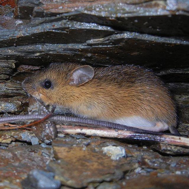 Woodland Jumping Mouse (Napaeozapus insignis) at Zoar Valley (Early October, 2017)  #WoodlandJumpingMouse #JumpingMouse #Napaeozapus #Napaeozapusinsignis #Dipodidae #Zapodinae #MammalsOfInstagram #Mammalia #Chordata #ZoarValley #CattaraugusCreek #Nature #NaturePorn #Nature_Obsession #NY #NewYork #WesternNewYork #WNYnature #FieldGuide #FieldGuides #TheFieldGuides