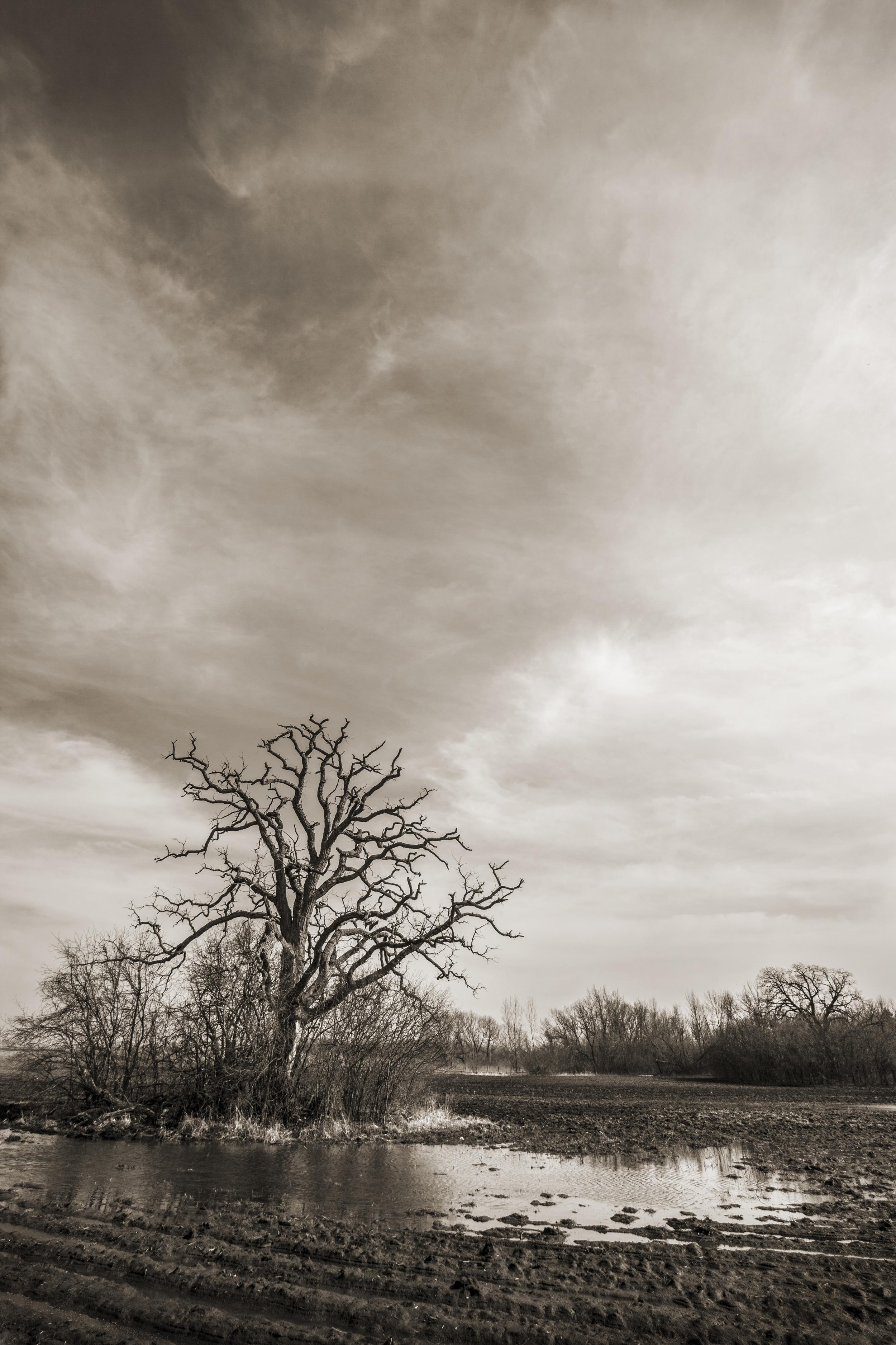 Prairie Oak II