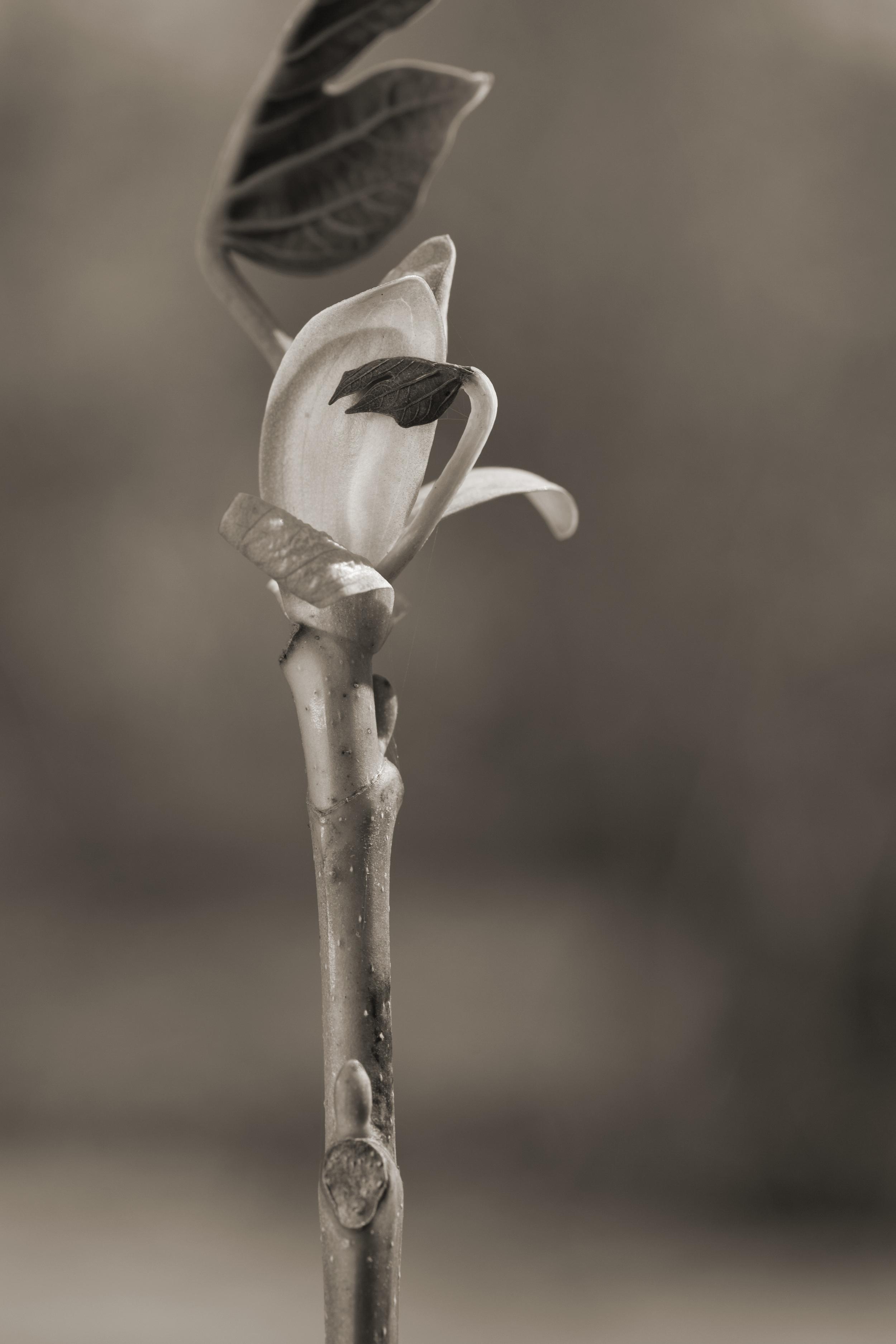 Tulip Poplar #2