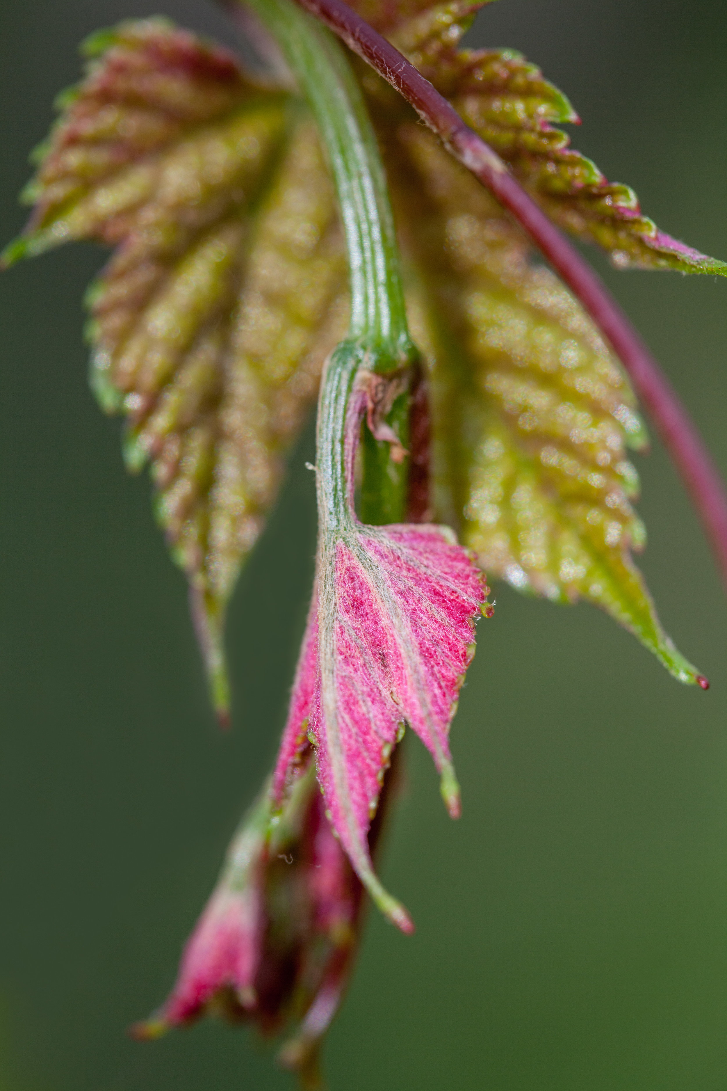 Name for an Emerging Wild Grape Leaf