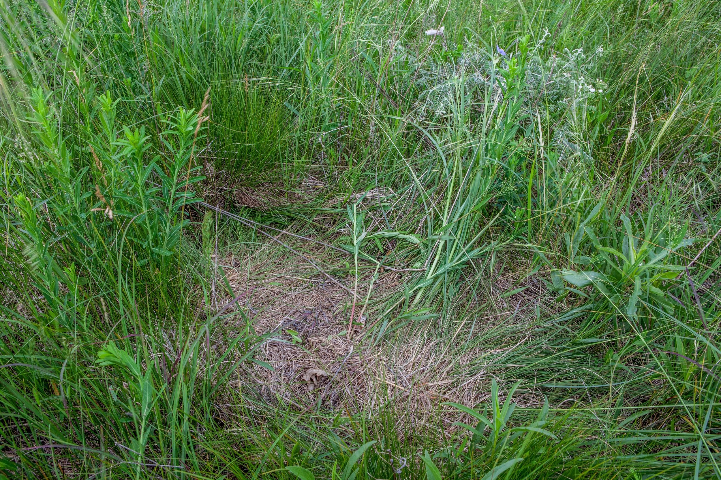 Name for a Deer Bed in an Unplowed Native Prairie